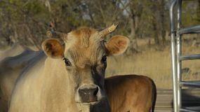 A cow on a farm in Australia looks at the camera and looks away.