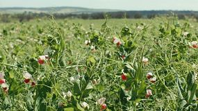 A green crop of field peas growing on a farm in Western Australia