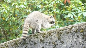 A curious racoon walks along a concrete fence looking for food.
