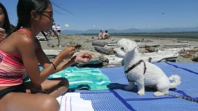 A cute little Asian girl gives her fluffy white Bichon Frise puppy a snack during a summer beach day!