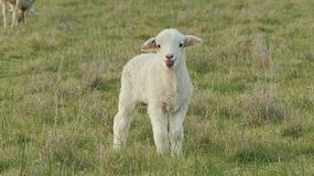 A cute young wiltipoll lamb looking around, bleating and looking for it's mother.