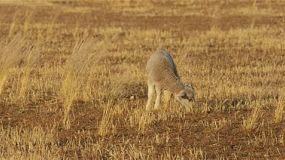 A cute young lamb grazing in the dry grass of a paddock in the australian summer.