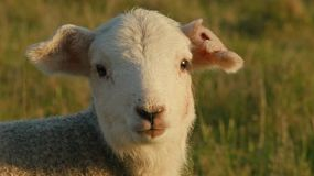 Closeup of a cute young lamb in a field, in the late afternoon sun, looking at the camera and then looking away.