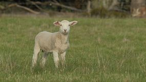 A young wiltipoll lamb standing in a grassy field looking at the camera, then walks away.