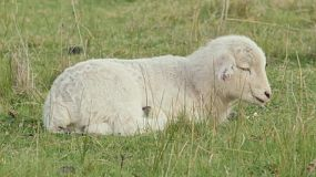 A cute white lamb lying in a grassy paddock on an Australian farm.