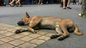 A crazy Thai dog lays down to have a good rest right in the middle of the road in Bangkok, Thailand.