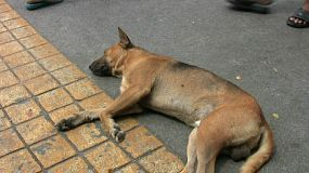 A crazy Thai dog lays down to have a good sleep right in the middle of the road in Bangkok, Thailand.