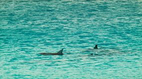 A pod of dolphins swimming in the ocean in the Cape Le Grand National Park, near Esperance, Western Australia.