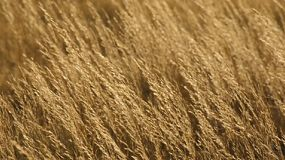 Dry golden grass on a farm blowing in the wind, as the light fades.