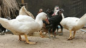 A bunch of ducks, chickens and geese fight over food at a farm in northern Thailand.
