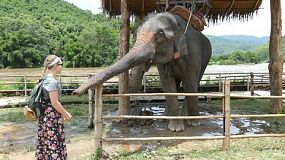 A cute Asian elephant bows down and does a curtsy to a foreign tourist at an elephant camp in Chiang Rai, Thailand.