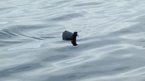 A Eurasian Coot on the water of a lake in Perth, Western Australia.