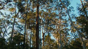 The evening sunlight shining on Karri trees in the Gloucester National Park near Pemberton in Western Australia.