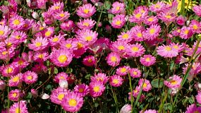 Pink Everlastings, wildflowers in Western Australia.
