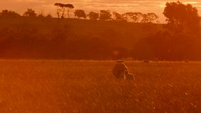 A ewe and her lamb bathing in the golden light as they are walking across a paddock on an Australian farm at sunset.
