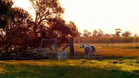 A ewe and her lambs wandering through a gateway into another paddock on an Australian farm at sunset.
