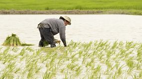 Thai farmer planting a rice field by transplating seedlings in chiang rai, thailand.