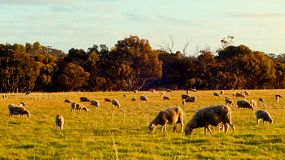 A flock of sheep and lambs grazing in a grassy paddock, lit by the late afternoon sun.