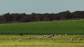A flock of sheep grazing in the cape weed in a paddock on an Australian farm.