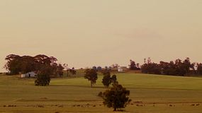 Sheep grazing in a field on a farm in Australia at sunset.