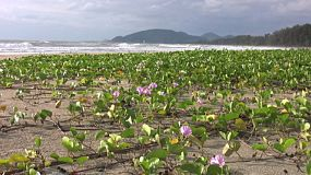A morning shot of pretty lavender flowers growing across the beach in Hua Hin, Thailand.