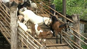 A herd of goats try to make their way down a wooden walkway to the goat pen.