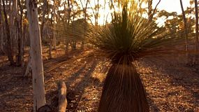 Tracking shot of a grasstree (balga) at sunrise, with the long shadows of the surrounding Australian bushland.
