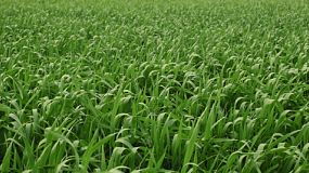 Leaves of a green wheat crop before the heads of wheat have sprouted, on a farm in Western Australia.