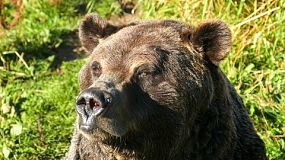 A large Grizzly bear tried to get rid of some annoying flies while soaking in the hot sunshine in the middle of summer in British Columbia, Canada.