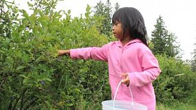 A cute little Asian girl happily picks fresh blueberries to fill her bucket.