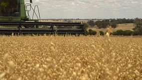 An Australian farmer on a combine harvester (header) harvesting a crop of oats. tracking shot.