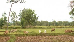 A herd of cows grazing in fields surrounded by rice paddies in northeast Thailand.