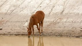 Horse drinking water from a dam on an australian farm.