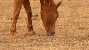 A horse grazing on dry grass in a paddock on an australian farm in summer.