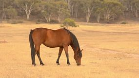 A horse grazing in dry pasture, in the australian summer.