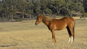 Horse standing tall in a dry field on an australian farm, with a patch of bush in the background.