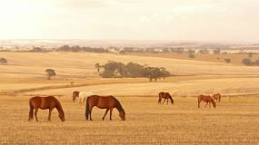 A team of horses grazing in yellow pasture, dry in the Australian summer, in the early morning light.