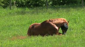 An itchy horse with blinders on tries to scratch himself by rolling around in the field. (HD 1080p30)