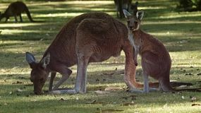 A kangaroo and her joey in the shade on a grassy area.
