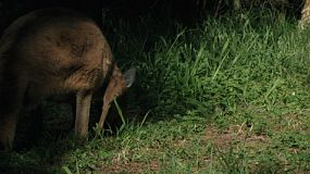 A kangaroo grazing in the shadows in a grassed area.