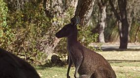 A wild kangaroo standing in the shade with trees in the background.