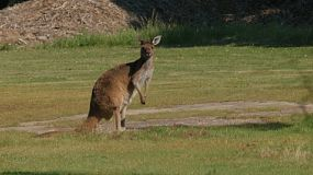 A kangaroo eating grass and looking at the camera on Heirisson Island in Perth, Australia.