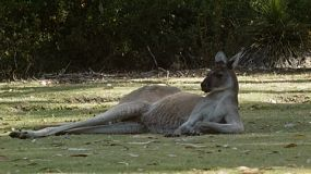 A kangaroo escaping the heat of the day, lying in the shade on a grassy area.