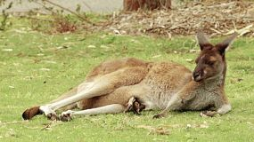 A kangaroo with a joey in it's pouch lying down and resting on a grassed area.