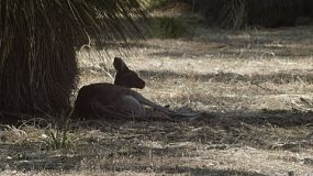 A wild kangaroo lying in the shade of a balga plant, escaping the hot sunlight.