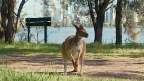 A kangaroo on Heirisson Island with the Swan River and Perth City skyline in the background.