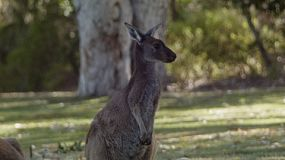 A kangaroo standing upright in front of trees, on a grassed area.