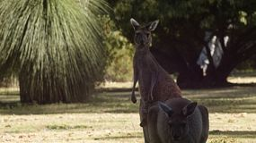 Two kangaroos on a grassed area, with a grass tree in the background.
