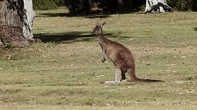 A kangaroo standing on a patch of grass, starts to move away, while another kangaroo hops by.