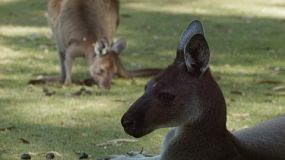 Head of a relaxed kangaroo resting in the shade, with another kangaroo grazing on grass in the background.